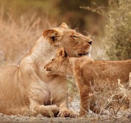 Accommodated Safari